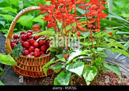 Sweet cherries in the basket - Stock Photo