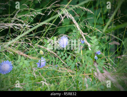 A macro shot of a scabious butterfly blue bloom. - Stock Photo