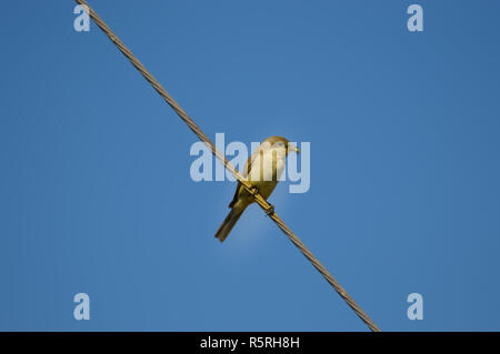sparrow posing on a wire with a cricket in its beak - Stock Photo