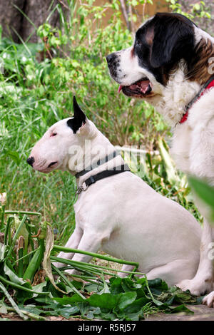English Bull Terrier white dog and St. Bernard dog is posing in garden, animals portrait, beautiful green trees and bushes. Dogs is sitting. - Stock Photo