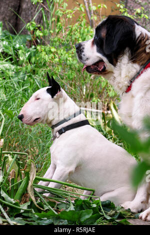 English Bull Terrier white dog and St. Bernard dog is posing in garden, animals portrait, beautiful green trees and bushes. Dogs is sitting and look. - Stock Photo