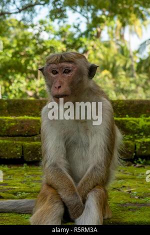 Toque Macaque Monkey, Macaca sinica at Pollonaruwa, Sri Lanka - Stock Photo