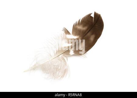 Common buzzard Buteo buteo feather top view isolated on white - Stock Photo
