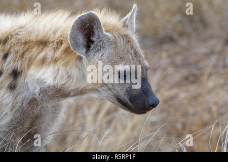 Spotted hyena or Laughing hyena (Crocuta crocuta) cub, close-up, Kruger National Park, South Africa, Africa - Stock Photo