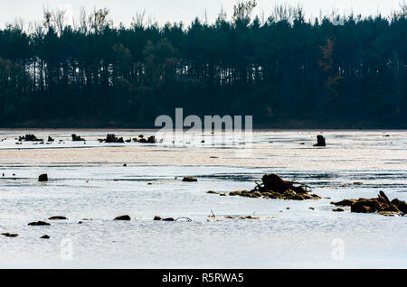 Tree stumps contrasted against muddy pond and dark forest. - Stock Photo
