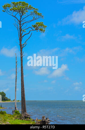 Pine tree on St. George Sound near Carrabelle, Franklin County, Florida - Stock Photo