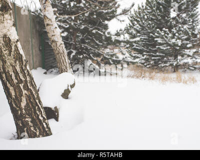 a log bench between two birch trees in the garden in the background of pines - Stock Photo
