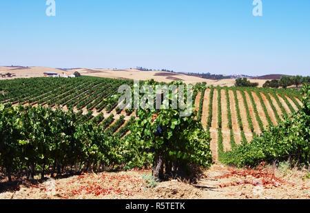 rows of grapevine in vineyards, alentejo, Portugal - Stock Photo