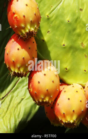 closeup of Prickly pear cactus fruits - Stock Photo