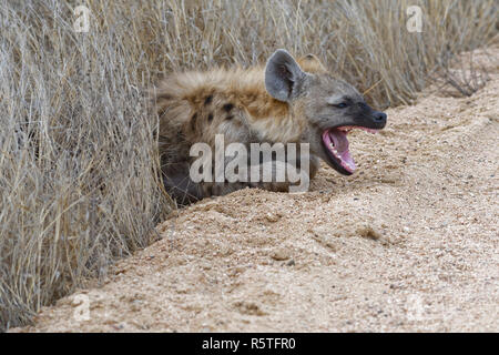 Spotted hyena or Laughing hyena (Crocuta crocuta) cub, lying on the edge of a dirt road, yawning, Kruger National Park, South Africa, Africa - Stock Photo