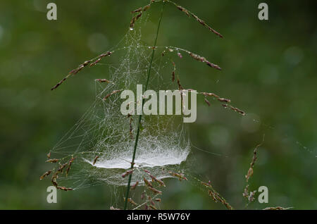 Bowl and Doily Web, Subfamily Linyphiinae, with dew - Stock Photo