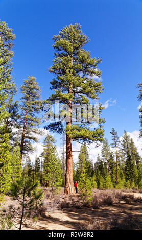 """43,200.00198 woman standing by 42"""" diam. old growth Ponderosa pine (Pinus ponderosa) tree, perfect specimen outlined against a blue sky in Oregon USA - Stock Photo"""