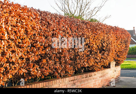 Common Beech Hedge in winter showing leaves that have turned brown - Stock Photo