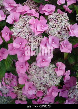 Close up of pink Lacecap Hydrangea showing small fertile flowers in middle and large sterile flowers around outside  Flowering mid to late summer - Stock Photo