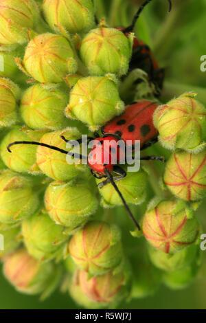 Single red spotted longhorn beetle on milkweed plant - Stock Photo