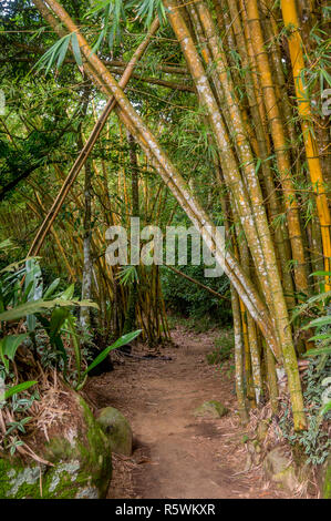 Path going through a bamboo forest in Ilha Grande, Brazil - Stock Photo