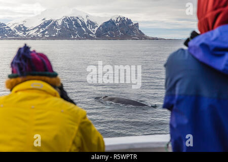 Adult blue whale, Balaenoptera musculus, sub-surface feeding off the western coast of Spitsbergen, Svalbard Archipelago, Norway. - Stock Photo