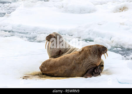 Atlantic walrus on ice, Odobenus rosmarus rosmarus, on ice flow, Edgeøya, Svalbard Archipelago, Norway. - Stock Photo