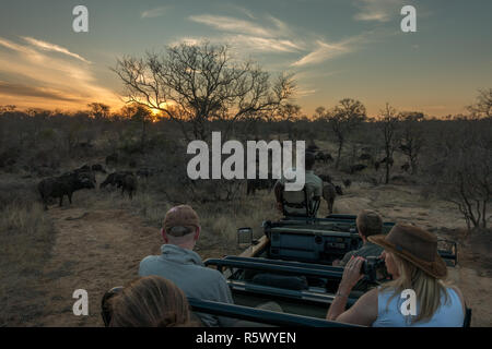 Tourists on safari in a jeep watching a herd of buffalo at sunset in the bushveld of the Greater Kruger National Park, South Africa - Stock Photo