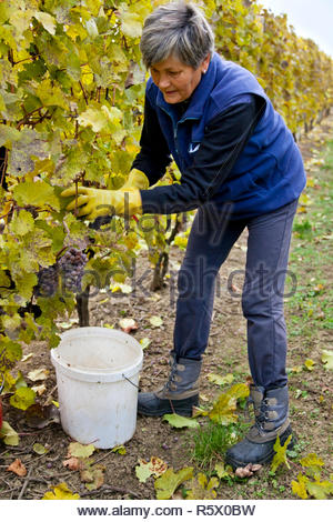 Senior woman collecting a grape in vineyard. - Stock Photo