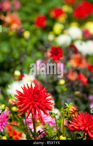 Flowers in the Butchart Gardens, Victoria, British Columbia, Canada - Stock Photo