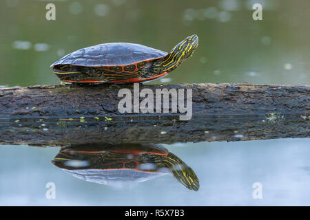 Painted turtle (Chrysemys picta) resting on log at edge of pond, MN, USA, by Dominique Braud/Dembinsky Photo Assoc - Stock Photo