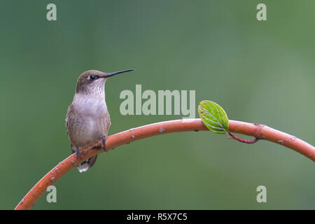 Ruby-throated Hummingbird (Archilochus colubris) female, perched, E USA, by Dominique Braud/Dembinsky Photo Assoc - Stock Photo