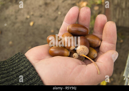 man holding in the palm of acorns that have fallen from oak in the background grass - Stock Photo