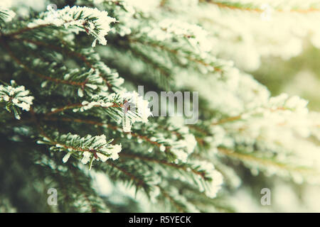 Winter background. Fir branch on snow. Snow and Christmas tree - Stock Photo
