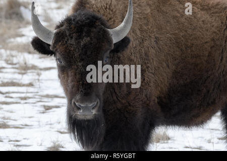 American bison on the plains in winter - Stock Photo