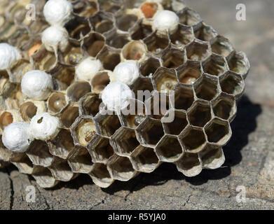 Wasp nest lying on a tree stump. - Stock Photo