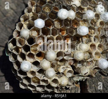 Wasp nest lying on a tree stump. - Stock Photo