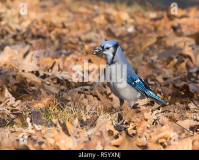 Blue jay (Cyanocitta cristata) with acorn under an oak, Iowa, USA - Stock Photo