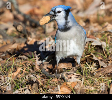 Blue jay (Cyanocitta cristata) with peanut in its beak, closeup, Iowa, USA - Stock Photo