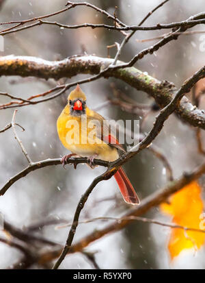 Female Northern Cardinal perched on the tree branch during blizzard at Jester Park, Iowa, USA - Stock Photo