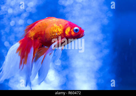 Gold fish in an aquarium with bubbles - Stock Photo