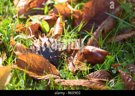 chestnut in the grass - Stock Photo