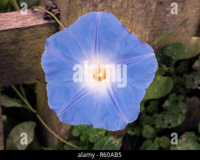 Morning Glory Heavenly Blue Flower Plant Up Close - Stock Photo