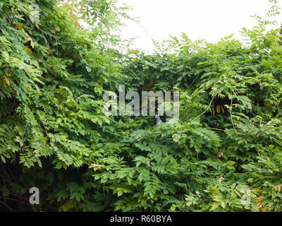 small pigeon hiding in green leaves up above - Stock Photo