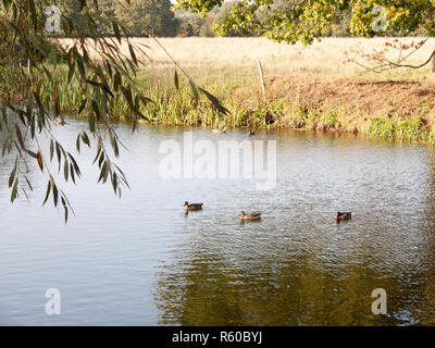 beautiful mallards resting on lake water surface top in summer country - Stock Photo