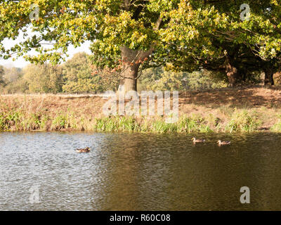 beautiful mallards resting on lake water surface top in summer country under tree - Stock Photo