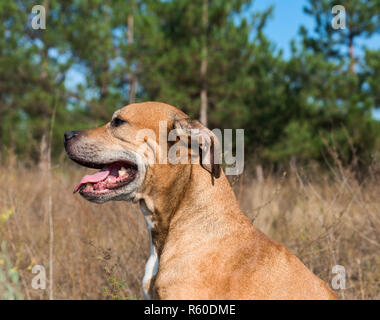 red dog of the breed American Pit Bull - Stock Photo