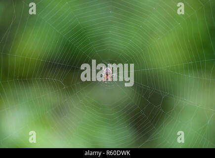 Small spider in his web of Araneus. Lovcen spider network - Stock Photo