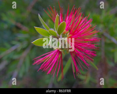 closeup of the blossom of a cylinder cleaner - Stock Photo