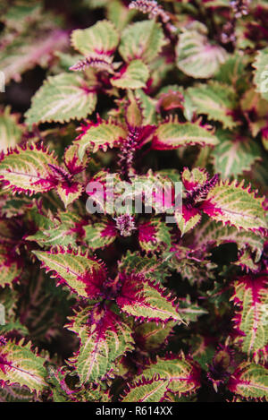 close up on solenostemon leaf,top view - Stock Photo