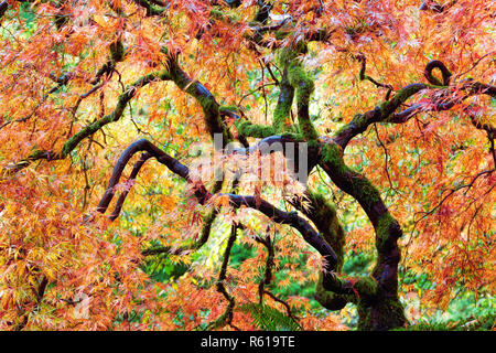 Japanese Lace Leaf Maple Tree in Fall - Stock Photo