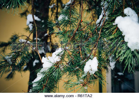 Fir tree branches with snow, ice closely, yellow wall background. Winter park, outdoor, Christmas landscape. Cold weather, sunny day in forest. Beauti - Stock Photo