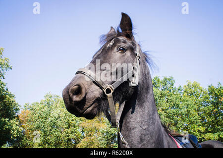 Friesian (Frizian) horse breed,  Equus ferus caballus 'Friesian', October 13, 2018. (CTK Photo/Libor Sojka) - Stock Photo