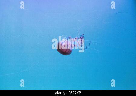 Black sea nettle jellyfish Chrysaora achlyos