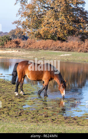 A New Forest pony drinking water in the New Forest national park in Hampshire, England, UK - Stock Photo